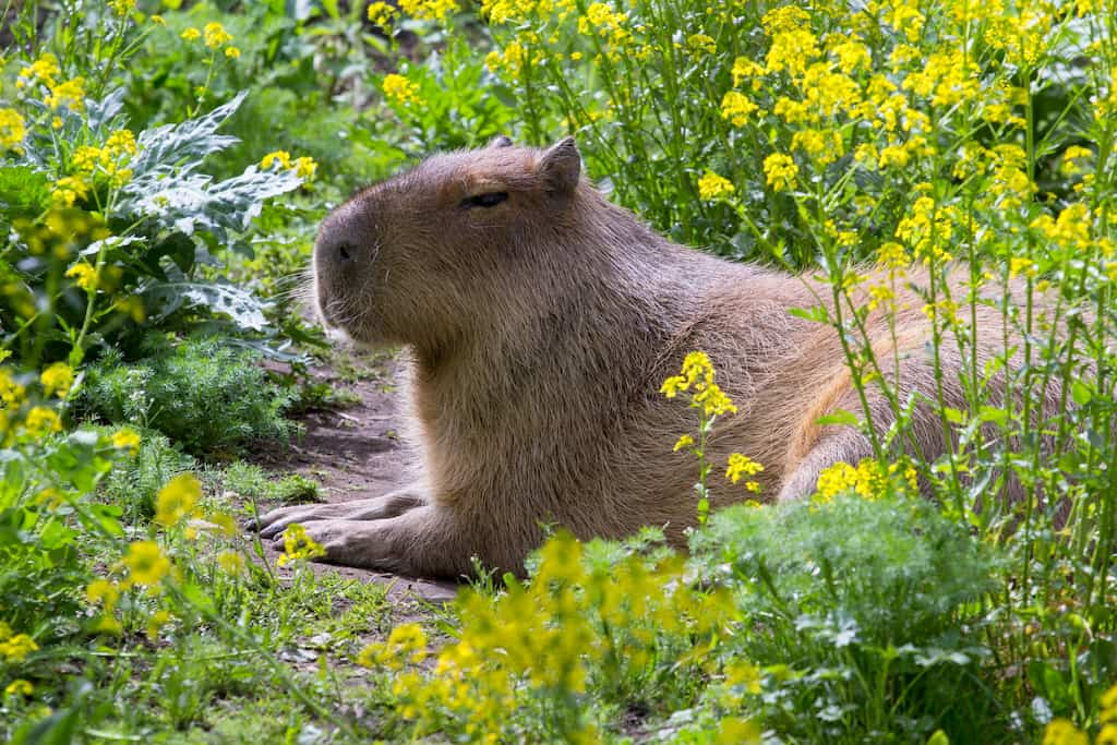 Image: A capybara lounges amidst the flowers